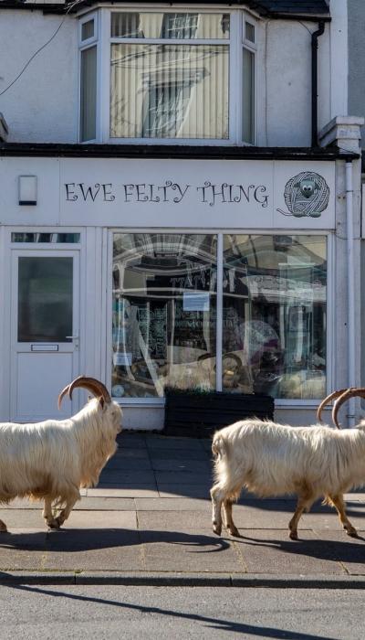 The Llandudno goats going past Ewe Felty Thing